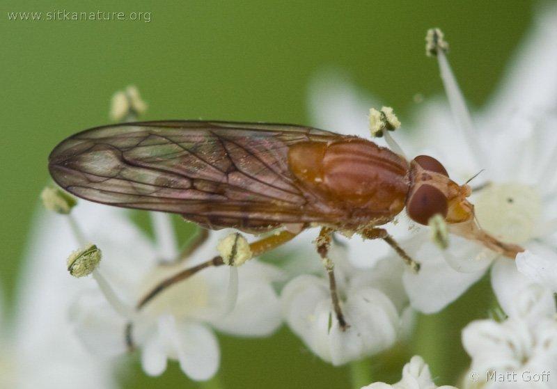 Syrphid Fly (Brachyopa sp)