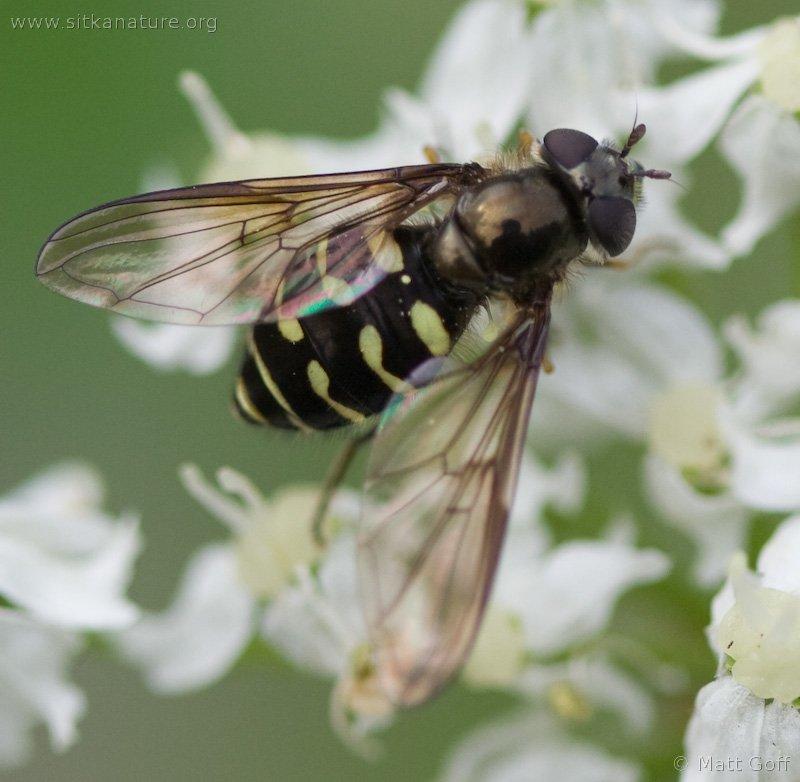 Syrphid Fly (Dasysyrphus sp)