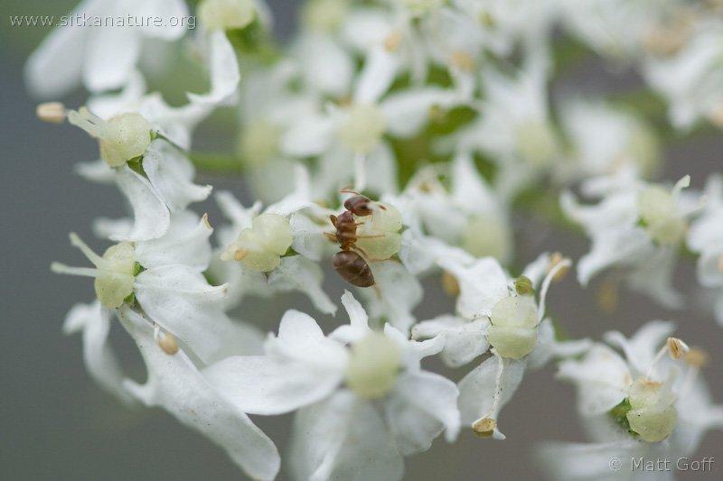 Ant (Lasius sp)