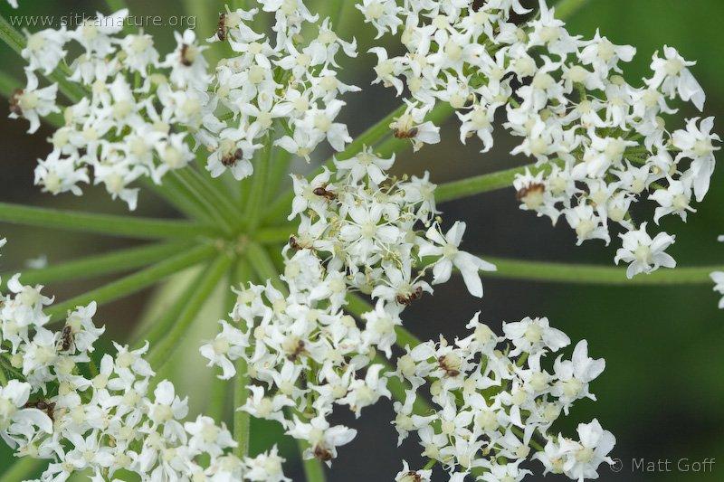 Ants (Lasius sp)