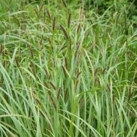 Northwest Territory Sedge (Carex utriculata)