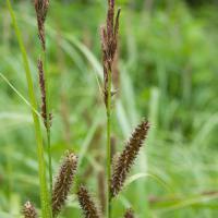 Northwest Territory Sedge (Carex utriculata)