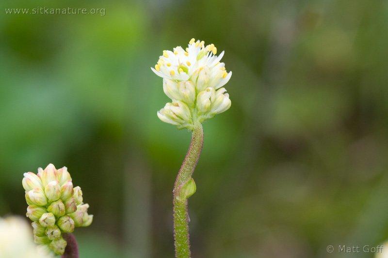 False Asphodel (Triantha sp)