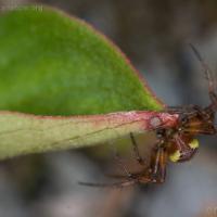 Six-spotted Orbweaver (Araniella displicata)