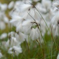 Tall Cotton Grass (Eriophorum angustifolium)
