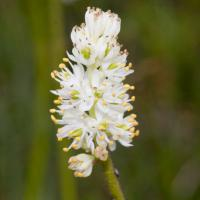 False Asphodel (Triantha sp)