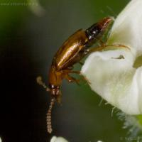 Pollen-eating Rove Beetle (Eusphalerum sp)