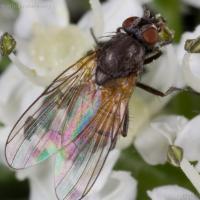 Fly (Diptera)