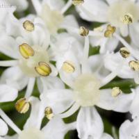 Cow Parsnip (Heracleum maximum) flowers