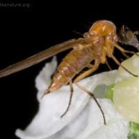 Unidentified Fly (Empidoidea)