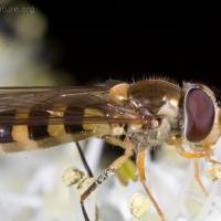 Syrphid Fly (Meliscaeva cintella)