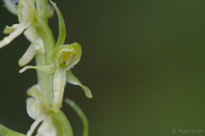 Green Bog Orchid (Platanthera huronensis)