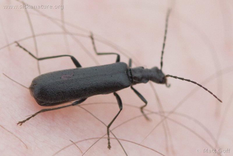 Soldier Beetle (Podabrus sp)