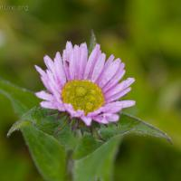 Subalpine Daisy (Erigeron peregrinus)