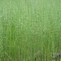 Swamp Horsetail (Equisetum fluviatile)
