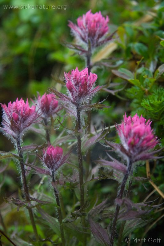 Mountain Paintbrush (Castilleja parviflora)