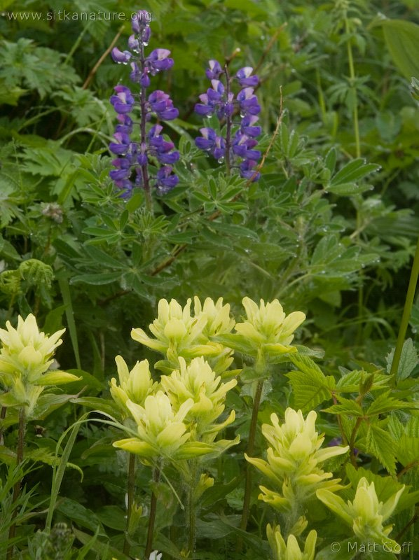 Lupine and Paintbrush