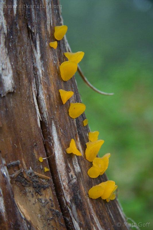 Orange Gumdrop Fungus (Guepiniopsis alpina)
