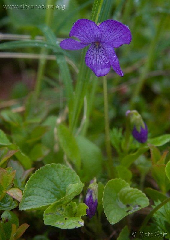 Alaska Violet (Viola langsdorffii)