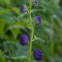 Monkshood (Aconitum delphinifolium)