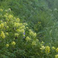 Alaska Paintbrush (Castilleja unalaschcensis)
