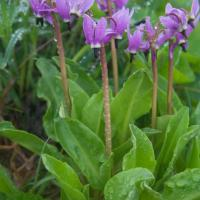 Tall Mountain Shooting Star (Dodecatheon jeffreyi)