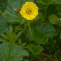Caltha-leaved Aven (Geum calthifolium)