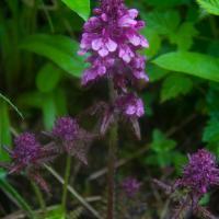 Whorled Lousewort (Pedicularis verticillata)