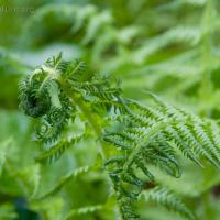 Queen's-veil Maiden Fern (Thelypteris quelpaertensis)