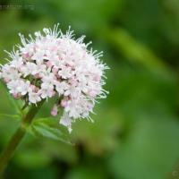 Sitka Valerian (Vareriana sitchensis)