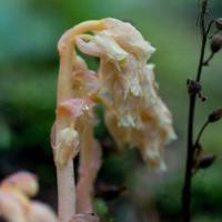 American Pinesap (Monotropa hypopithys)