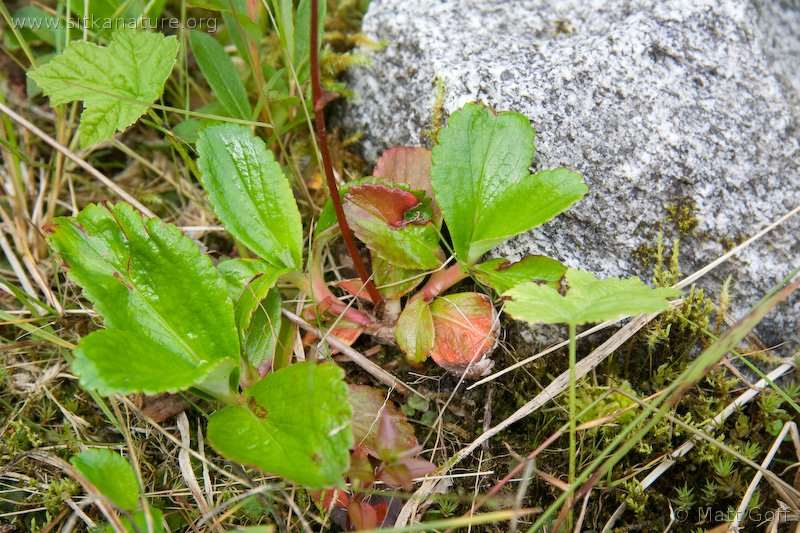Leather-leaf Saxifrage (Leptarrhena pyrolifolia)
