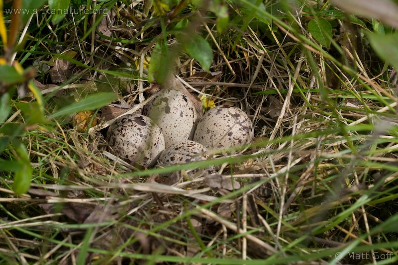Spotted Sandpiper Nest (Actitis macularia)