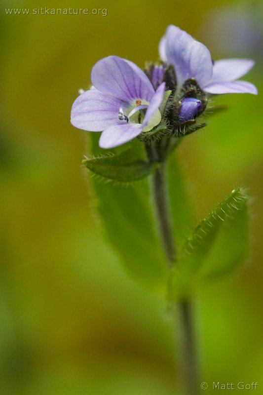 Alpine Speedwell (Veronica wormskjoldii)
