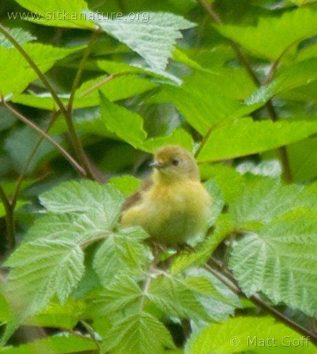 20070715-warbler-1.jpg