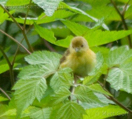 20070715-warbler-2.jpg