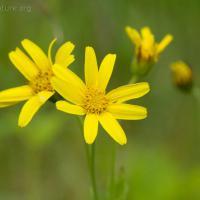 Mountain Arnica (Arnica latifolia)