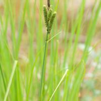Lakeshore Sedge (Carex lenticularis)
