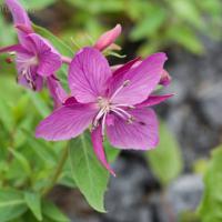 River Beauty (Chamerion latifolium)