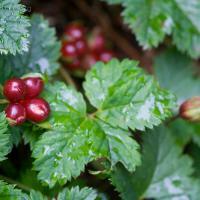 Trailing Raspberry (Rubus pedatus)