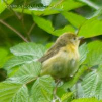 20070715-warbler-3.jpg