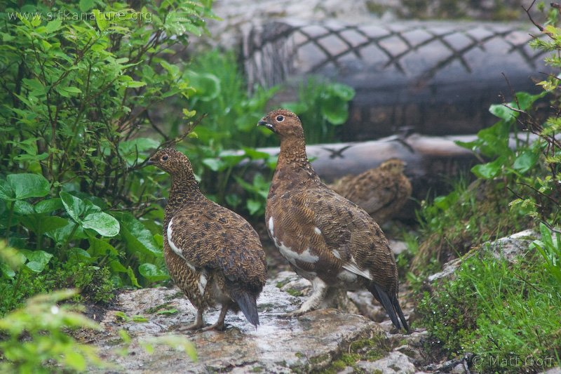 Willow Ptarmigan with young