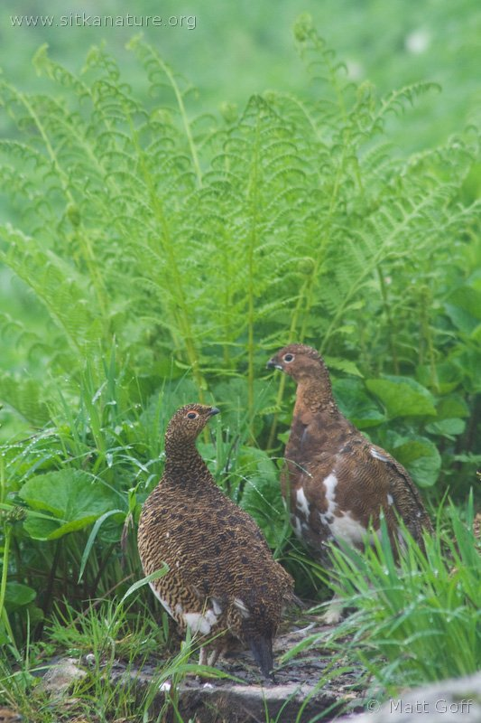 Willow Ptarmigan Pair