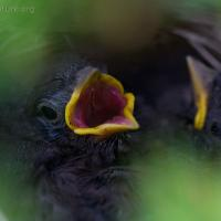Fox Sparrow Nestlings
