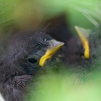 Fox Sparrow Nestlings
