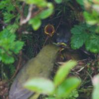 Orange-crowned Warbler Nest