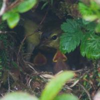 Orange-crowned Warbler Nest