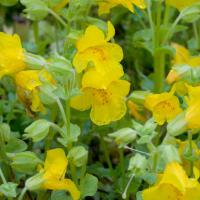 Yellow Monkey Flower (Mimulus guttatus)