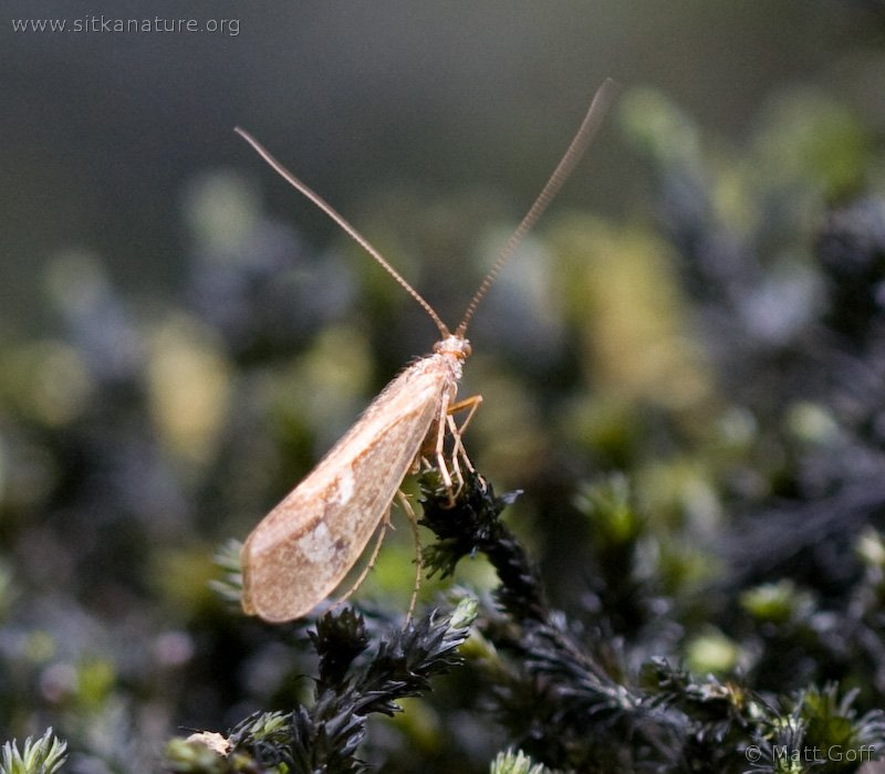 Caddisfly (Tricoptera)