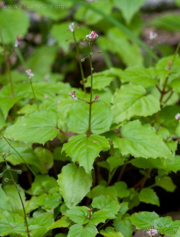 Enchanter's Nightshade (Circaea alpina)